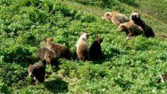 До конца июля у медведей гон, это самое опасное время !